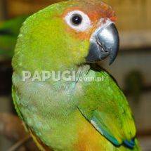 Golden-capped Parakeet