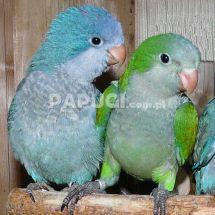 Попугай-монах (калита) - синиая вариация