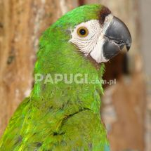 Chesnut-fronted Macaw