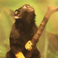 Tamaryna (marmozeta) żółtoręka