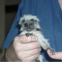 Cotton-head Tamarin
