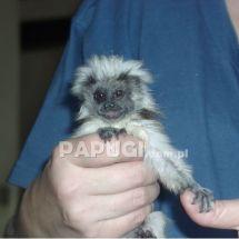 Tamaryna (marmozeta)  białoczuba