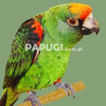 Jardine's Parrot (Red-fronted Parrot)