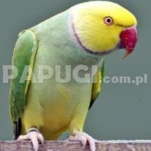 Indian Ring-necked Parakeet - Yellow headed variety