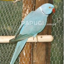 Indian Ring-necked Parakeet - blue variety