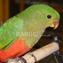 Papuga królewska (szkarłatka)