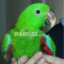Благородный двухцветный попугай (зелёно-красный) - самец