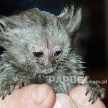 Tamaryna (marmozeta) białoucha