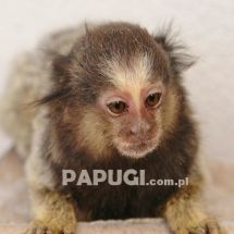 Black-pencilled Marmoset