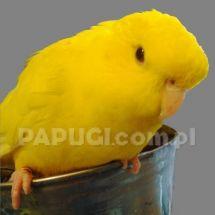 Толстоклювый попугай Катерины - лютинос