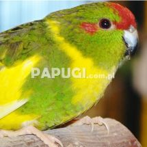 Red-fronted Kakariki