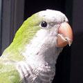 Попугай-монах (калита)