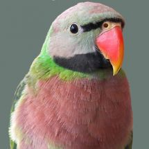Red-breasted Parakeet (Moustached Parakeet)