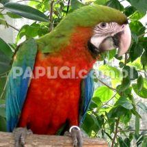 Harlequin macaw (a hybrid)
