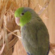 Воробьиный попугайчик Лессона
