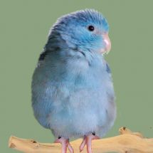Воробьиный попугайчик Лессона - синиая вариация