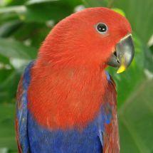 Благородный двухцветный попугай - самка