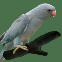 Indian Ring-necked Parakeet grey mutation