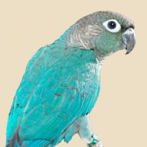 Turquoise Green-cheeked conure