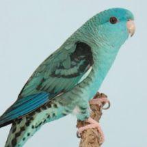 Толстоклювый попугай Катерины - синиая вариация
