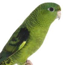 Толстоклювый попугай Катерины