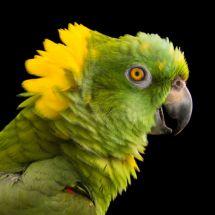 Amazonka żółtoszyja