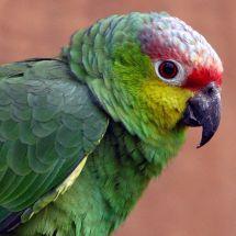 Amazonka żółtolica